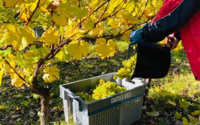 Chardonnay Harvest 2020 at Coates & Seely